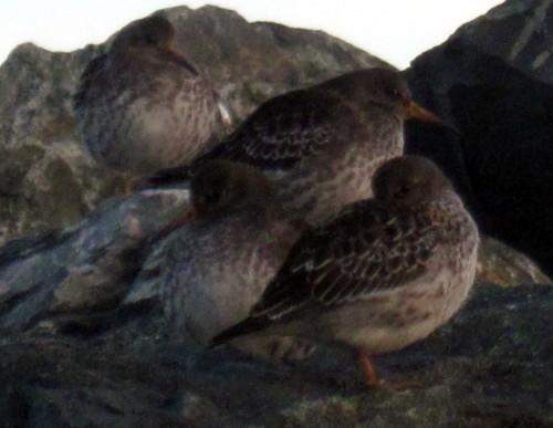Snåle fugler